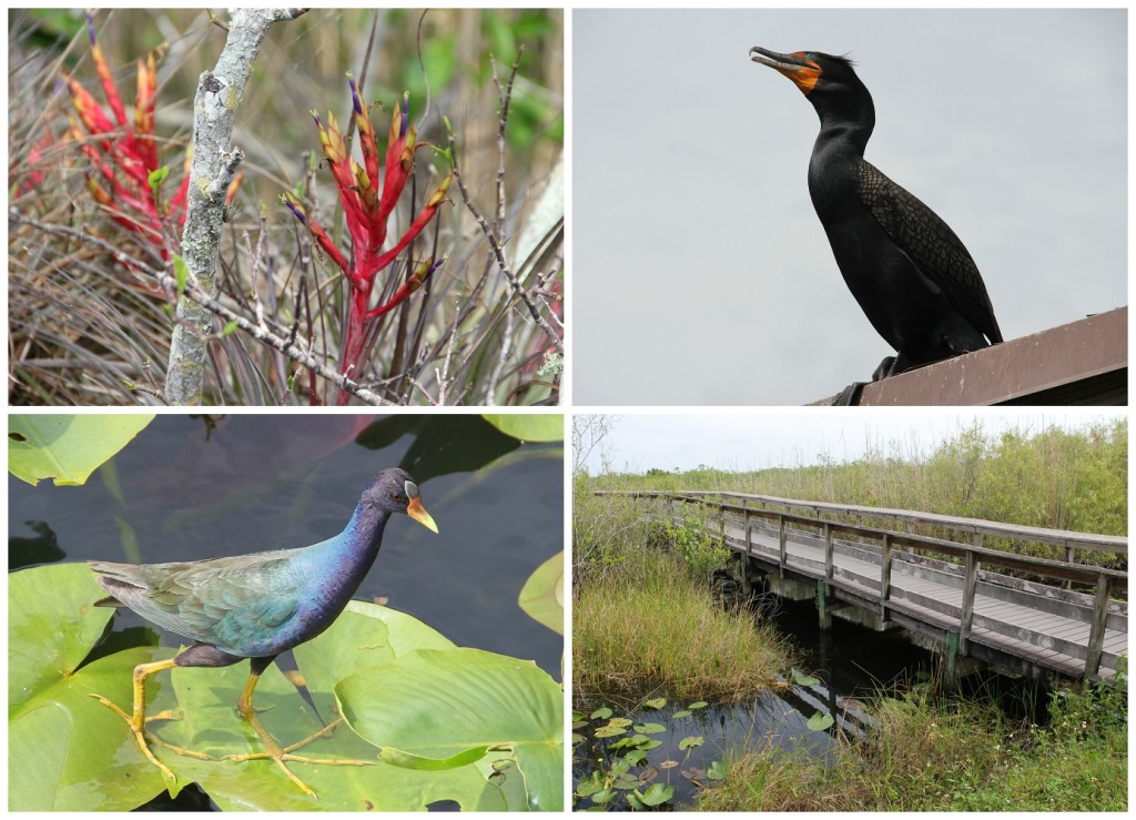 Everglades5